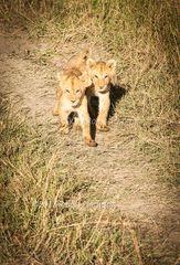 Lion Cubs On Track