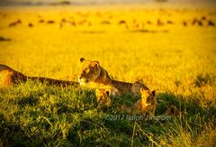 Lioness 2 Cubs