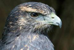 Black Crested Buzzard Eagle 2