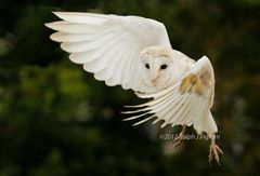 Barn Owl In Flight 6