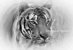 Tiger Head in Black and White