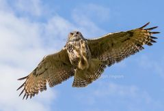 Eagle Owl Attacking in Flight