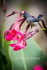 Slaty Flowerpiecer 2