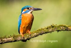 Kingfisher on Perch 2