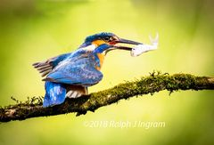 Kingfisher with a Minnow