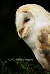 Barn Owl Side View