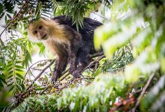 White Throated Capuchin2