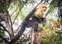 White Throated Capuchin1