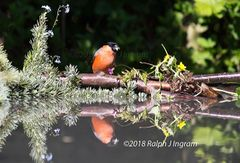 Bullfinch in Reflection