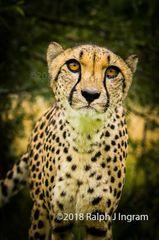 Cheetah Looking Good
