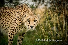 Cheetah Look