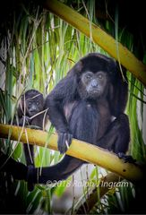 Mantled Howler Monkey & Baby