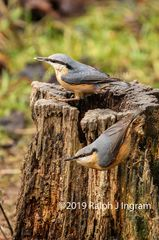 Nuthatch Pair