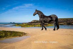 Friesian Horse on the Beach 1
