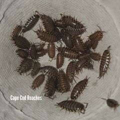 Checkered Isopods