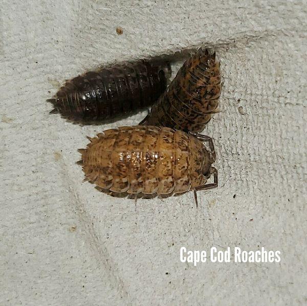 Trachelipus rathkii