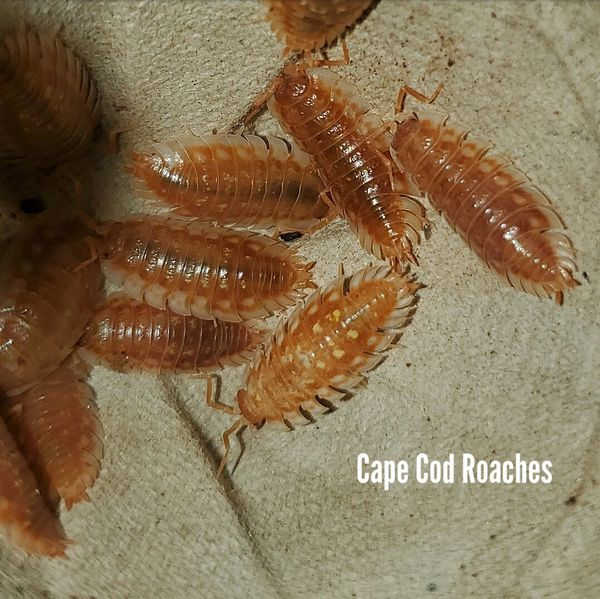 X. SOLD OUT X. Oniscus asellus 'BC Maple' Isopods