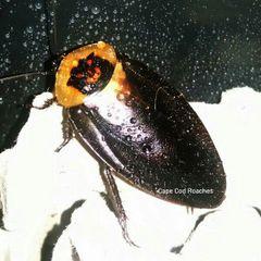 Death's Head Roaches