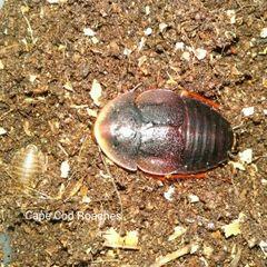 Horseshoe Crab Roaches