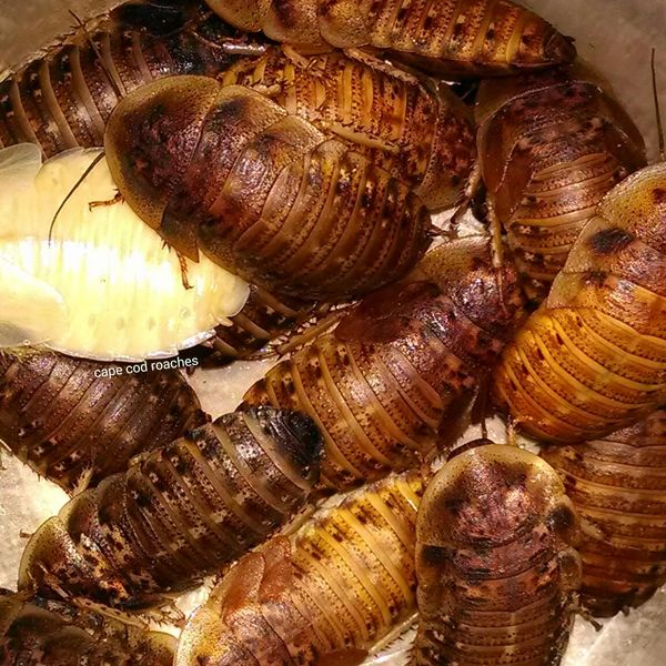 "Dubia Roaches - Large Nymphs 3/4"" - 1"""