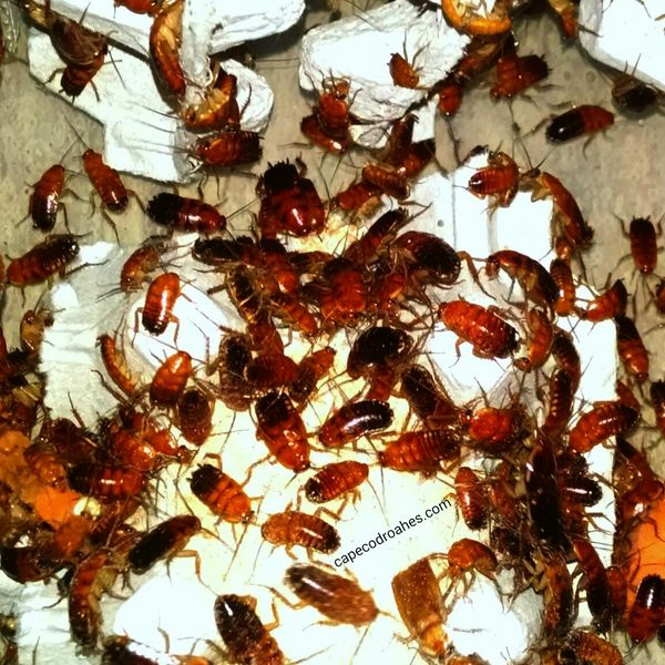 Red Runner Roaches