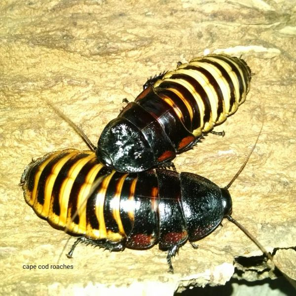 X. SOLD OUT X. Tiger Hisser