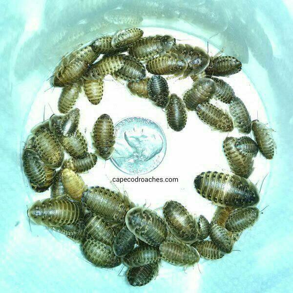 "Dubia Roaches - Medium Nymphs 1/2"" - 3/4"""