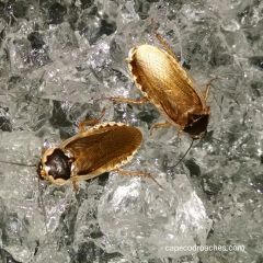 Pallid Roaches