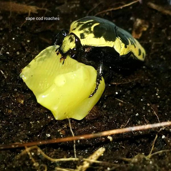 X. SOLD OUT X. Harlequin Flower Beetle