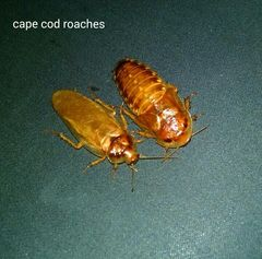 Dubia Roaches - Golden Dubia