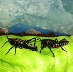 Eastern Lubber Grasshopper 'black'