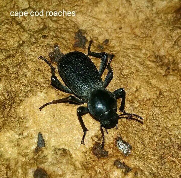 Black Death Feigning Beetle