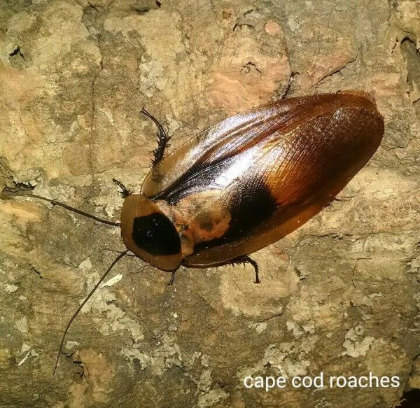 Dusky Cave Roaches