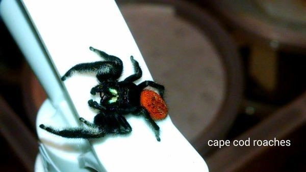Johnson Jumping Spider - slings