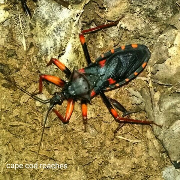 Horrid King Assassin Bug