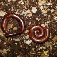 Sonoran Desert Millipede