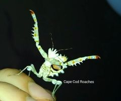 X. SOLD OUT X. Spiny Flower Mantis