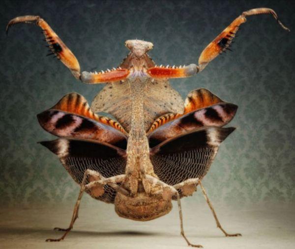 X. SOLD OUT X. Dead Leaf Mantis