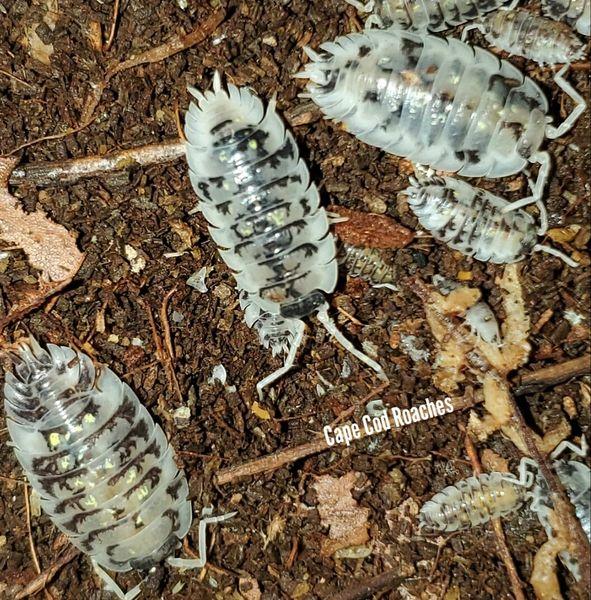 Oniscus asellus 'Mardi Gras Dalmatian' Isopods