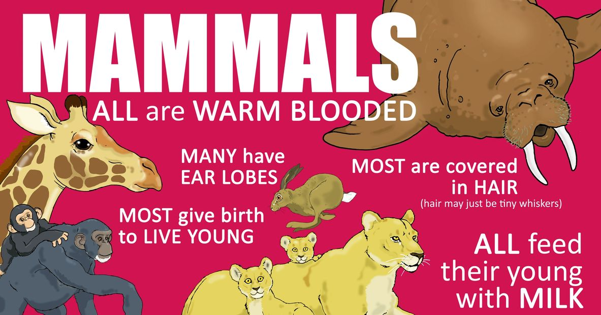 mammals classification grouping animals