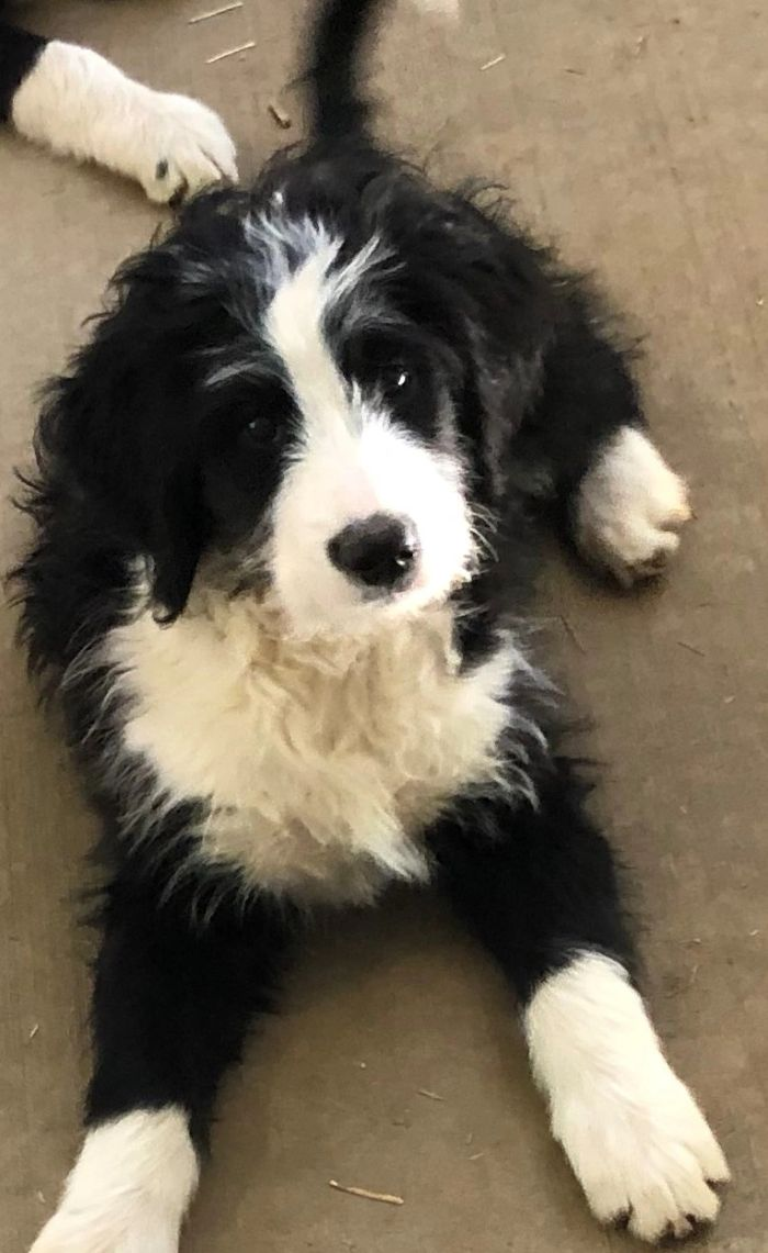 One of our past puppies from Ozzie and Stella's beautiful Bernedoodles