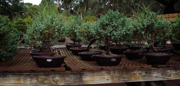 Blue Alps Juniper (Juniperus Chinensis) Stock