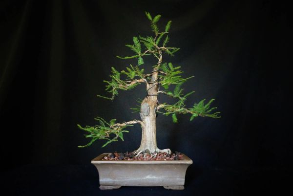 Bald Cypress In An Unglazed Bonsai Pot Where To Buy Bonsai Trees Schley S Bonsai Supplies