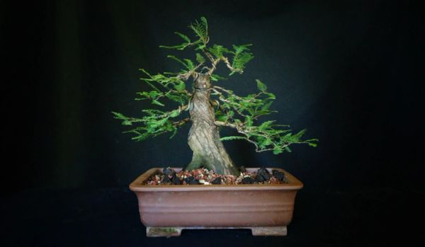 Bald Cypress In A Bonsai Pot Where To Buy Bonsai Trees Schley S Bonsai Supplies