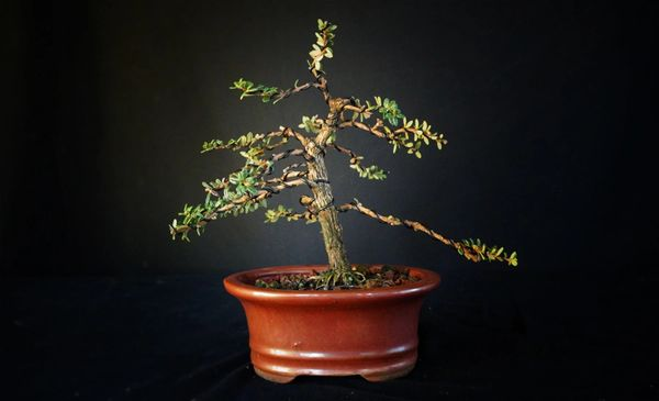 Wired Bahama Berry Bonsai Where To Buy Bonsai Trees Schley S Bonsai Supplies