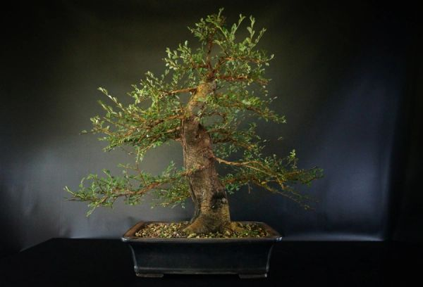 Large Chinese Elm In A 14 Bonsai Pot Where To Buy Bonsai Trees Schley S Bonsai Supplies