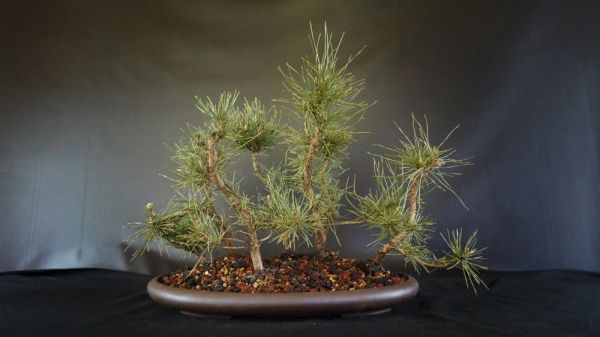 Seven Black Pine Forest In A Chopped Japanese Pot Where To Buy Bonsai Trees Schley S Bonsai Supplies