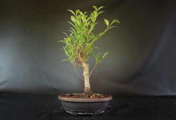 Tiger Bark Ficus In A Seven Inch Pot Where To Buy Bonsai Trees Schley S Bonsai Supplies