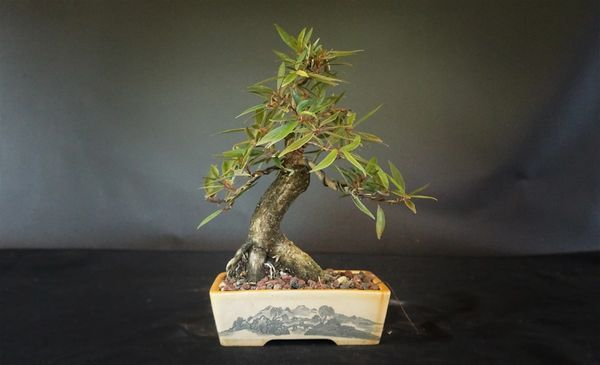 Wired Willow Leaf Ficus Where To Buy Bonsai Trees Schley S Bonsai Supplies