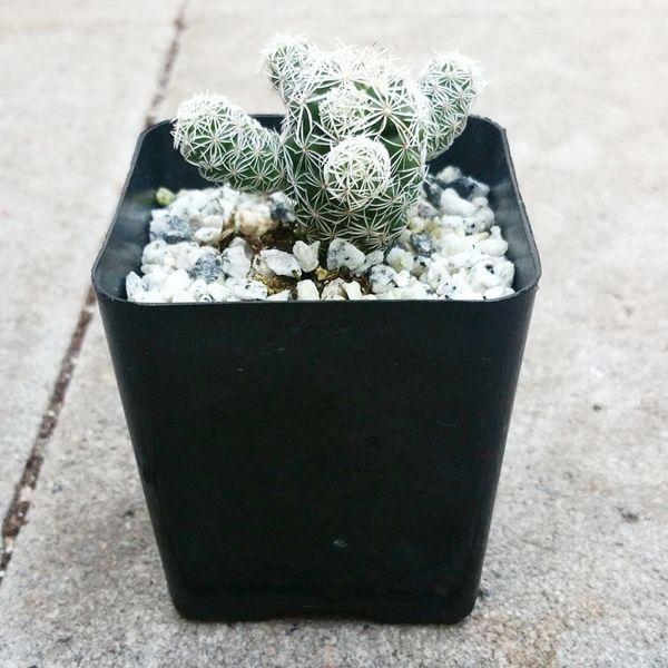 "Mammillaria Gracilis Fragilis ""Thimble Cactus"""